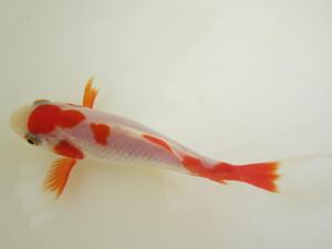 Sarasa: rot-weiß wie kleine Kois