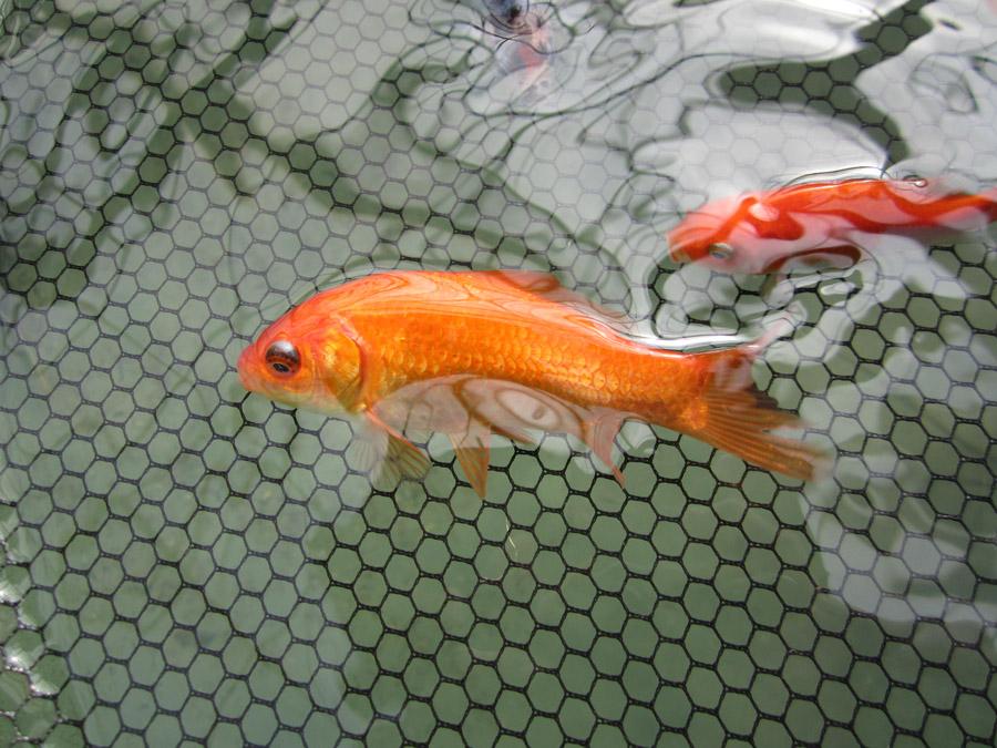 Goldfische baumschule salzburg spezialist f r for Goldfische gartenteich winter