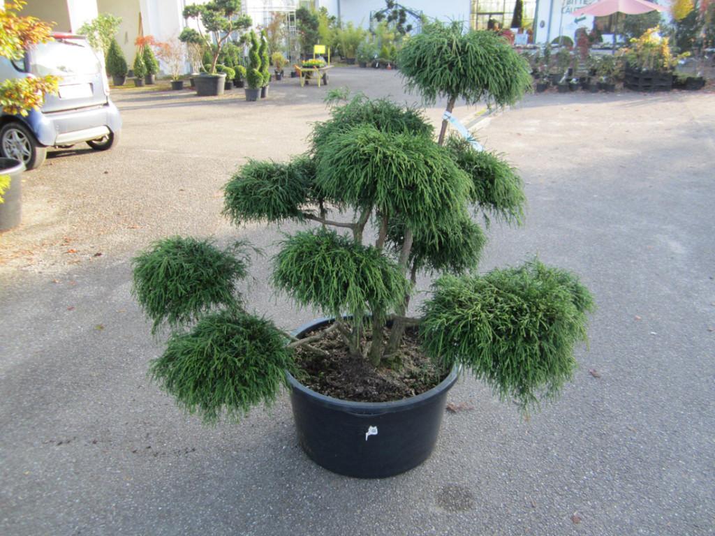 garten bonsai baumschule salzburg spezialist f r gartenbau und landschaftsbau. Black Bedroom Furniture Sets. Home Design Ideas